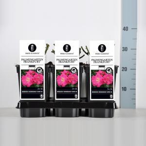 Bodembedekkende trosroos (rosa Palmengarten Frankfurt®)