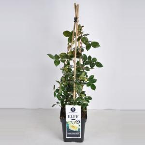 Korting Klimroos (rosa Elfe ®) C5 1 stuks