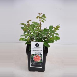 """Grootbloemige roos (rosa """"Chippendale""""®)"""