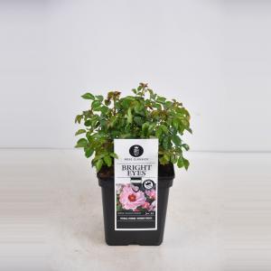 "Persica roos (rosa persica ""Bright Eyes""®)"
