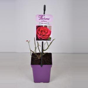 "Grootbloemige roos (rosa ""Gräfin Diana® Parfuma""®)"