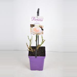 """Grootbloemige roos (rosa """"Madame Anisette® Parfuma""""®)"""
