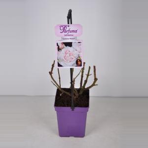 "Grootbloemige roos (rosa ""Constanze Mozart® Parfuma""®)"