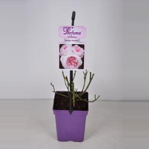 Dagaanbieding - Trosroos (rosa