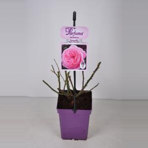 "Trosroos (rosa ""Rosengräfin Marie Henriette® Parfuma""®)"