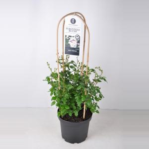 """Rambler klimroos (rosa """"Perennial Blush""""®)"""