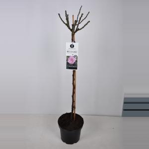 """Grootbloemige roos op stam 90 cm (rosa """"Blue Girl""""®)"""