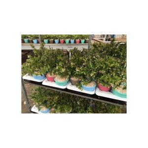"Bosbes in cadeaupot (vaccinium corymbosum ""Sunshine Blue"") fruitplanten"