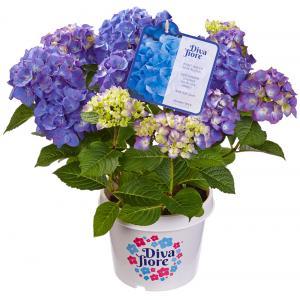 """Hydrangea Macrophylla """"Diva Fiore Blue""""® boerenhortensia"""