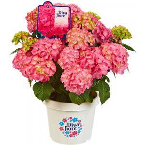"""Hydrangea Macrophylla """"Diva Fiore Pink""""® boerenhortensia"""