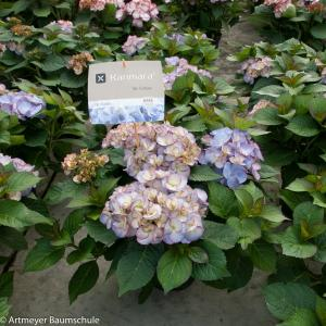 Hydrangea Macrophylla Kanmara de Beauty Lila® boerenhortensia