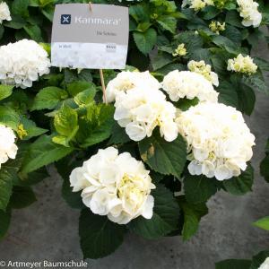 Dagaanbieding - Hydrangea Macrophylla