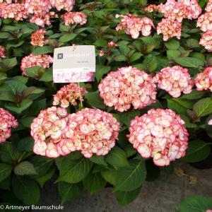 "Hydrangea Macrophylla ""Kanmara de Beauty Pink""® boerenhortensia"