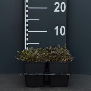"Koperknoopje (leptinella potentillina ""Platt's Black"") bodembedekker"