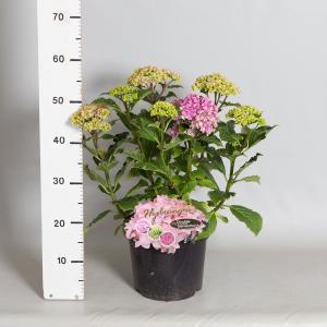 Hydrangea Macrophylla Double Flowers Pink® boerenhortensia - 30-40 cm - 1 stuks