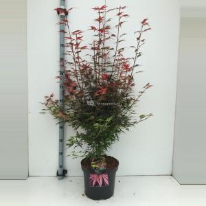 "Japanse esdoorn (Acer palmatum ""Shaina"") heester - 70+ cm - 5 stuks"