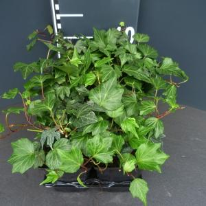 Klimop (hedera helix Green Ripple) bodembedekker - 6-pack - 1 stuks