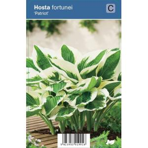 "Hartlelie (hosta fortunei ""Patriot"") schaduwplant"