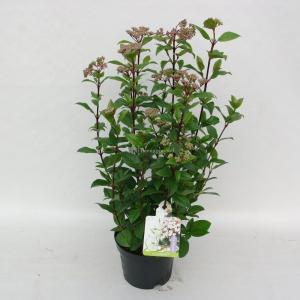 "Sneeuwbal (Viburnum tinus ""Ladybird""®) heester - 50-60 cm (C10) - 5 stuks"