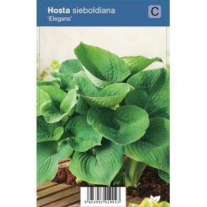 """Hartlelie (hosta sieboldiana """"Elegans"""") schaduwplant"""