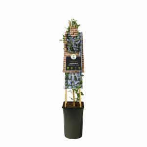 Amerikaanse sering (Ceanothus thyrsiflorus var. repens) klimplant