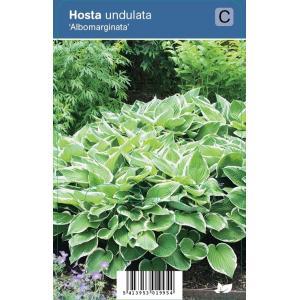 """Hartlelie (hosta undulata """"Albomarginata"""") schaduwplant"""