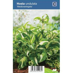 """Hartlelie (hosta undulata """"Mediovariegata"""") schaduwplant"""