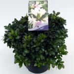 "Rododendron (Rhododendron Satsuki ""Myojo"") heester"