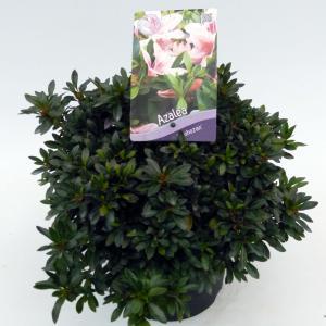 "Rododendron (Rhododendron Satsuki ""Nyohozan"") heester"
