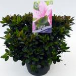 "Rododendron (Rhododendron Satsuki ""Shinzan"") heester"