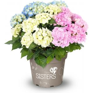 Hydrangea Macrophylla Three Sisters® Pastel boerenhortensia