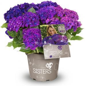 Hydrangea Macrophylla Three Sisters® Violett boerenhortensia
