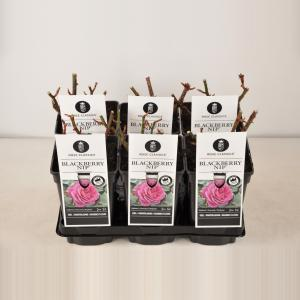 """Grootbloemige roos (rosa """"Blackberry Nip""""®)"""