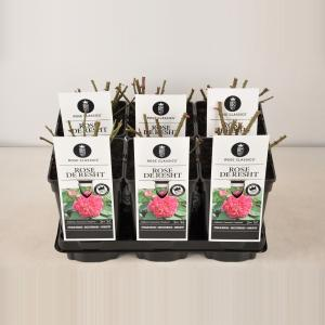 "Trosroos (rosa ""Rose de Rescht""®)"