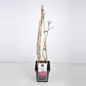 "Rambler klimroos (rosa ""Perennial Blue""®)"