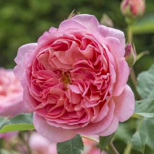 "Engelse klimroos (rosa ""Boscobel""®)"