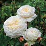 """Engelse klimroos (rosa """"Tranquillity""""®)"""