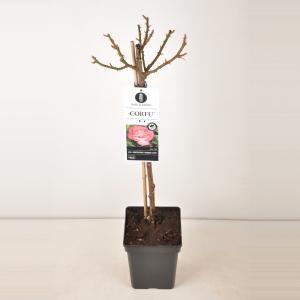 """Grootbloemige roos op stam 50 cm (rosa """"Corfu""""®)"""