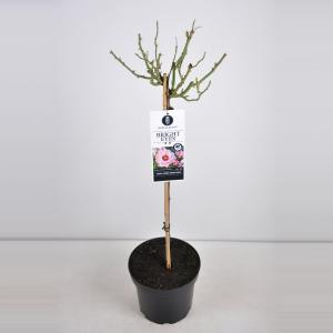 """Persica roos op stam (rosa Persica """"Bright Eyes""""®)"""