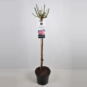 "Treurroos op stam (Rosa ""Eden Rose""®)"