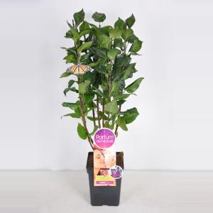"Sering (syringa vulgaris ""Charles Joly""Parfum de Nature)"