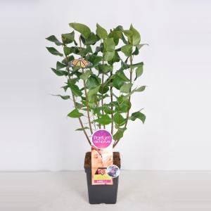 "Sering (syringa vulgaris ""Michel Buchner""Parfum de Nature)"