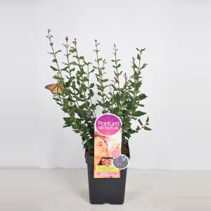 "Dwergsering (syringa Bloomerang®""Dark Purple""Parfume de Nature)"