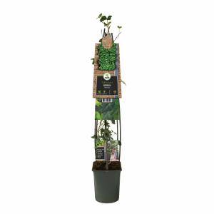 Ierse klimop (Hedera hibernica) klimplant