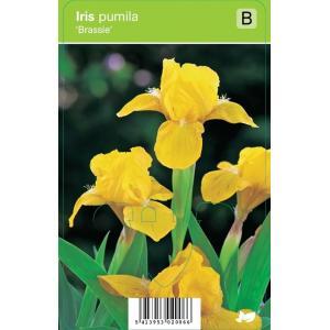 "Zwaardlelie (iris pumila ""Brassie"") voorjaarsbloeier - 12 stuks"