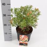 "Rotsheide (Pieris Japonica ""Little Heath"") heester"