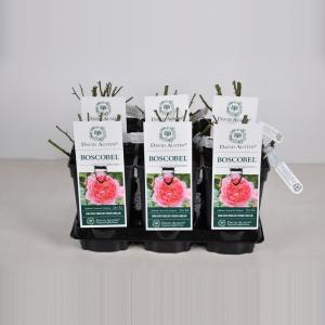 "Engelse roos (rosa ""Boscobel""®)"