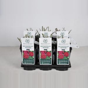 "Engelse roos (rosa ""Munstead Wood""®)"