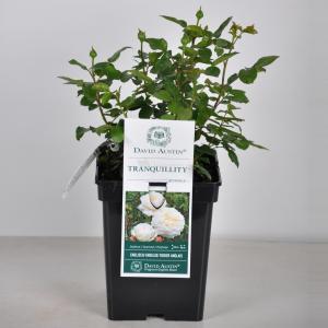 Engelse roos (rosa Tranquillity®) - C5 - 1 stuks