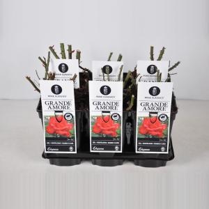 Grootbloemige roos (rosa Grande Amore®) - C3 - 1 stuks